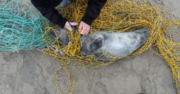 Hikers rescue in fishing net entangled seal was on the beach of Lombardsijde