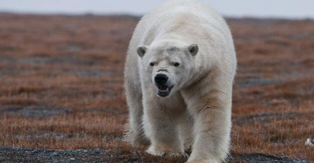 Arctic island of Novaya Zemlya : polar bears are scared away from the Russian settlement