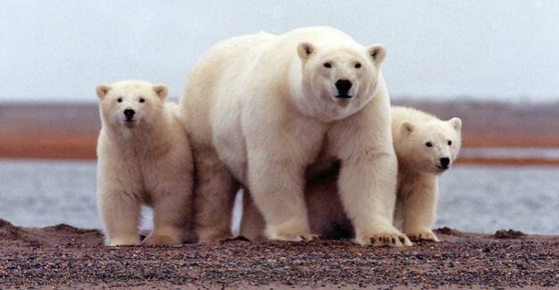 Siberian Arctic island of Novaya Zemlya : Russian island, reports the Invasion of polar bears