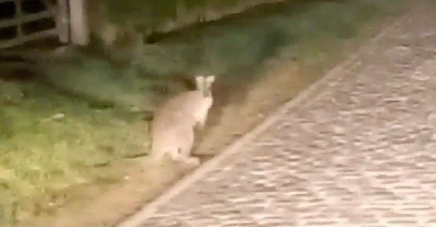The kangaroo of Kruisem is after months finally caught