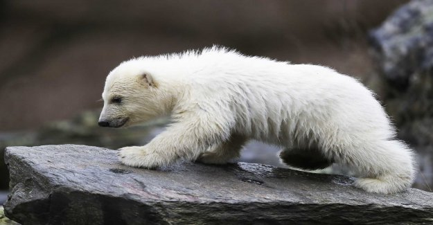 A new polar bear has made debut
