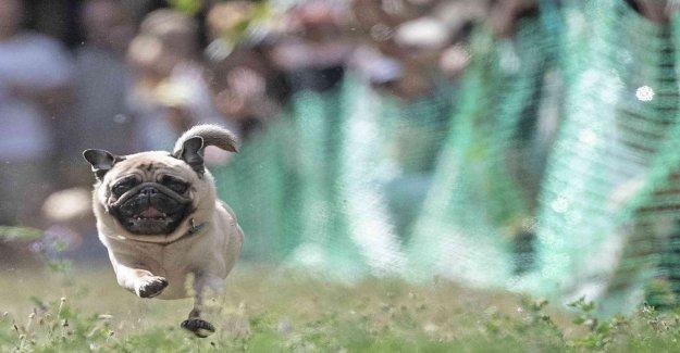 German city poodles after mopsaffär on Ebay