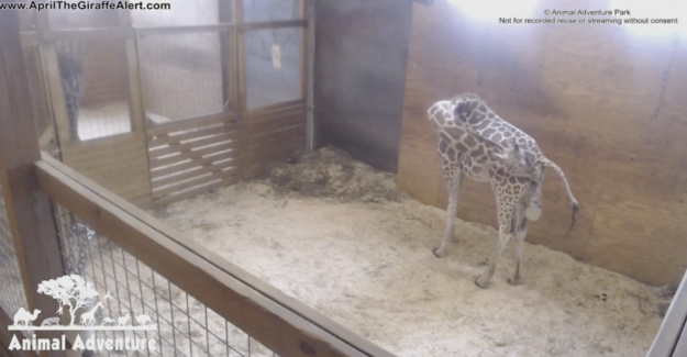 LIVE: Finally! Now give birth to the famous giraffe