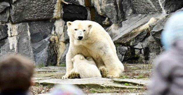 Polar bear Premiere in the animal Park : polar bear Tonja presented to your offspring