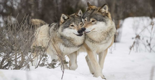 Suspected breeding with illegal wolf hybrids
