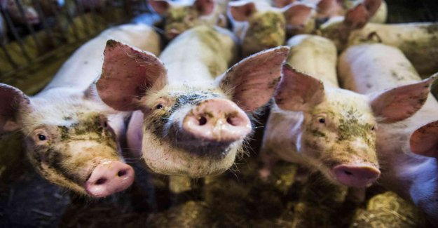 The MRSA bacteria in nine out of ten Danish slaughter pigs