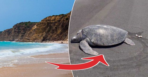 Turtle confusion – when the beach became airport