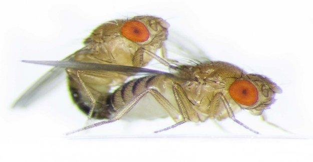 Flies react to sex, not just in the semen