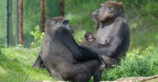 For the first baby gorilla born at Beekse Bergen