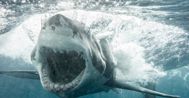 Giant white shark approaching the American coastline, but no reason to panic