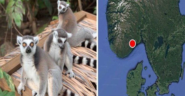 Lemur on the run found – sat and sunbathed