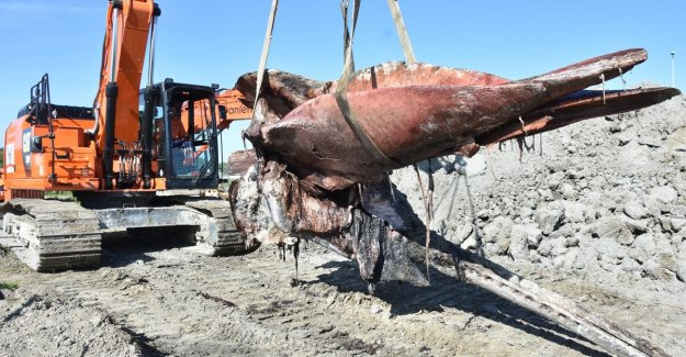 Sperm whale Valentine's day completely excavated (in two separate pieces)