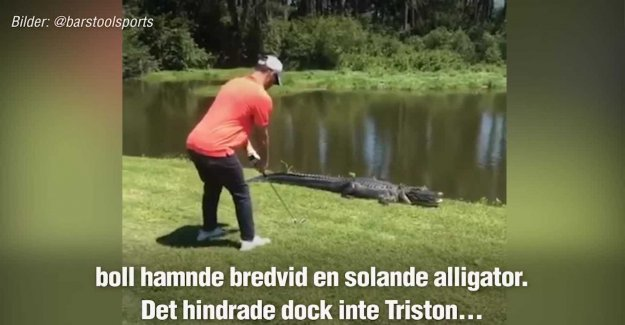 Stands and to beat – when the alligator is ready