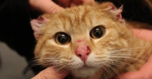 Cat found with cut ears. Probably the man who stands behind the
