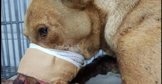 Dog runs horrific injuries after children's fireworks display at the mouth stitches