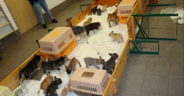 German police arrest smugglers who 37 puppies to Belgium and wanted to bring them illegal to sell