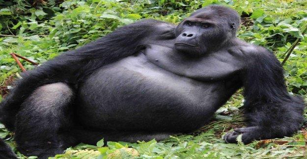 Inbreeding causes mutations of endangered gorillas