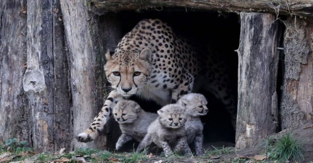 Is this weeks sweet series of pictures? Cheetah got three in Germany
