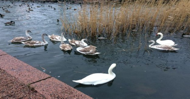 Joyful reunion! Alone in the centre of Helsinki have been wandering around for cygnets was returned back to his family