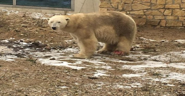 Mom here is the polar bear, which eat meat - the Tallinn zoo visited Petra was shocked when he found out where the child was talking - dirty polar bear trots hotel corral paw raw