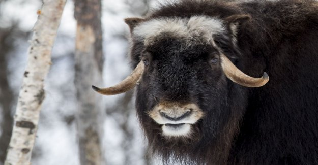 Musk ox will share half a million of the wills