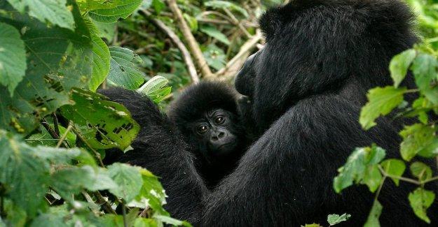 Researchers: Inbreeding causes mutations of endangered gorillas
