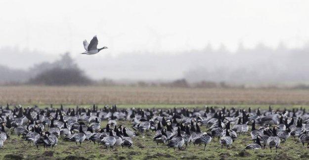 The wadden sea - restaurant for 15 million birds