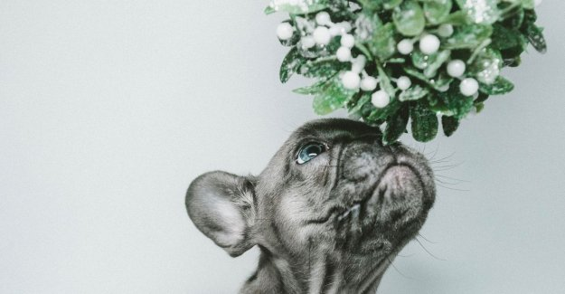 This 4 kerstplanten are dangerous for your dog or cat