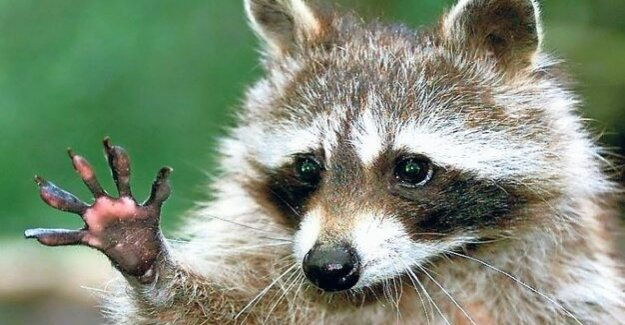 Wild animals : dispersal of the raccoon threatened other species