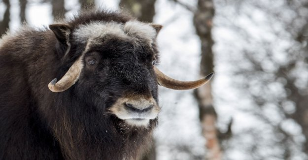 Woman bequeathed half a million to muskoxen, and arctic foxes
