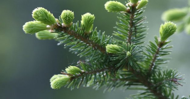 Would you realize? Don't throw the christmas tree out - put it in your mouth