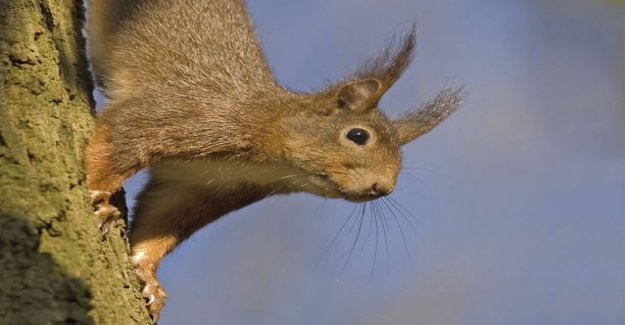 An adopted squirrel's lucky day: the Three most difficult pregnancy after birth sweet Marisela - moving hazard!
