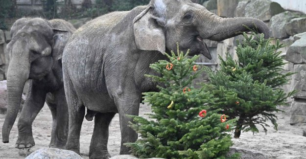 IN THE PICTURE. In Berlin, come christmas trees still useful... for the animals of the zoo