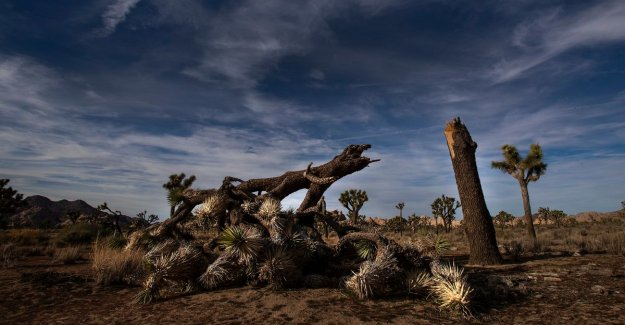 Joshua Tree National Park can be up to 300 years to recover from damage caused by shutdown