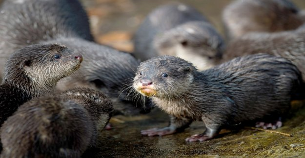 Otters get their own passage at the busy road