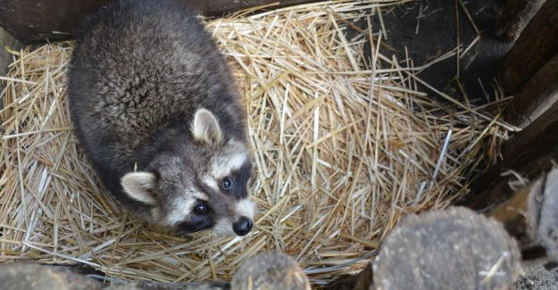 Raccoon bites 4 chickens and 1 rooster death and allows himself to catch