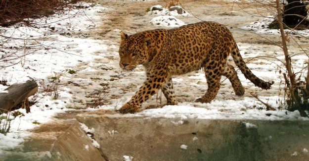 Steak attracted back runaway leopard