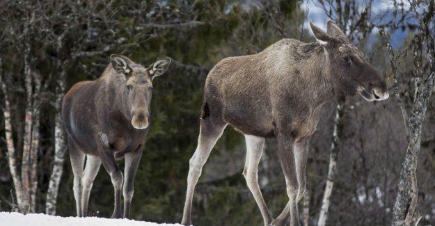 Tried to euthanize elk with biljekk – risking a prison sentence