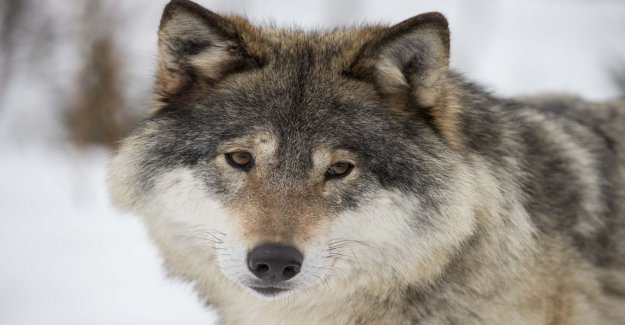Wolf shot after the decision on the hunting