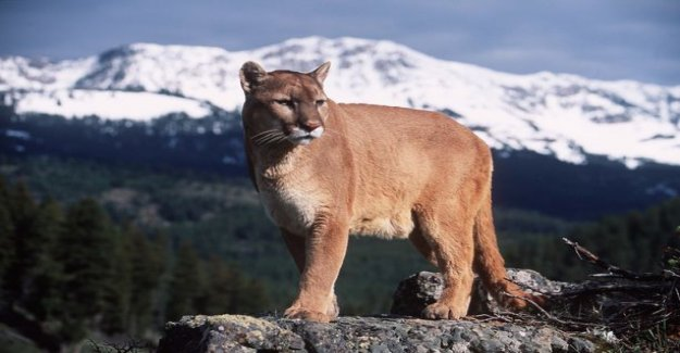 A mountain lion attacked a runner attacking the USA - the man suffocating the animal to death