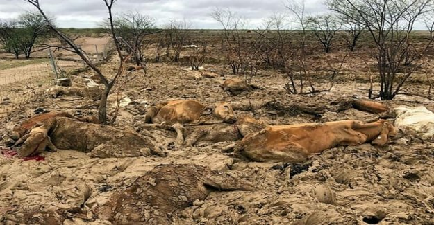 A sea of dead cattle, according to the year of the dog flood