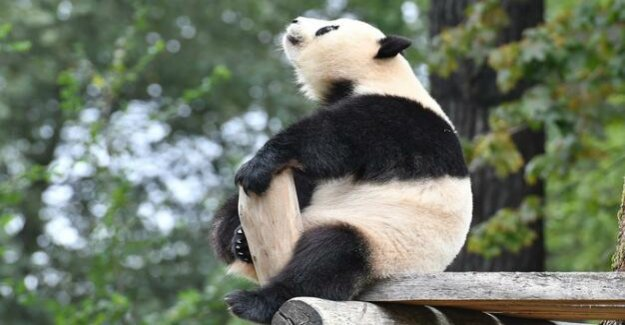 Berlin Zoo : Meng Meng is the second-best Panda personality of the year