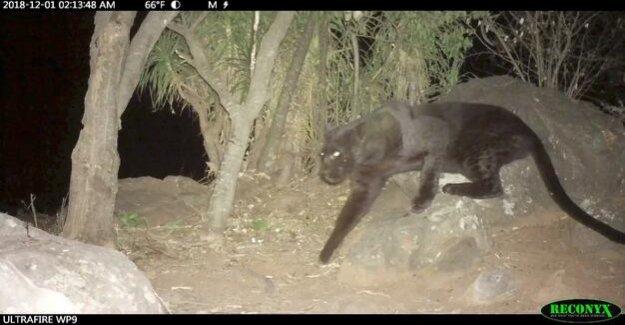 Black Leopard : a Rare Black Panther filmed in Kenya