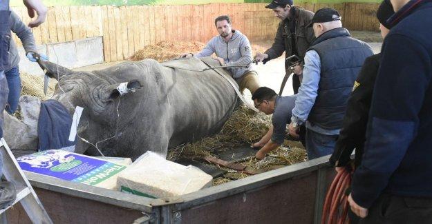 Circus Rhino with abdominal pain