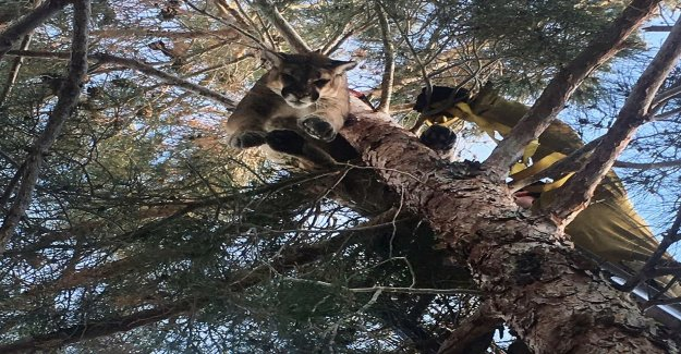 Cougar rescued from the tree