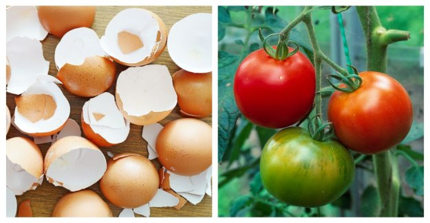 Don't throw the eggshells, your plants love them