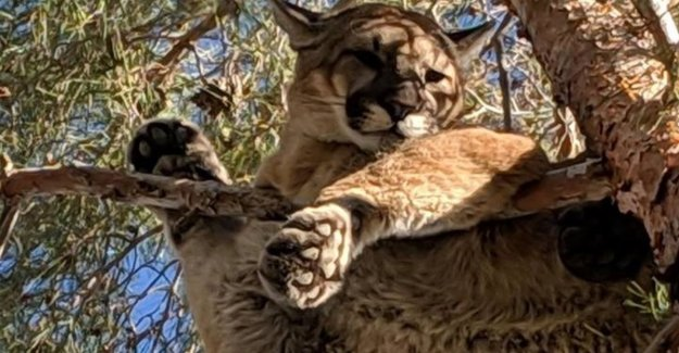 Hello, fire department? There's a cougar in my tree