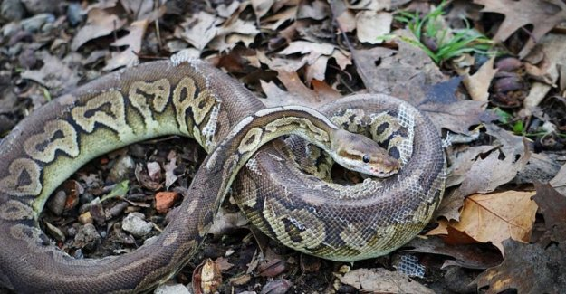 Hikers find in Hasselt three koningspythons: They could warm up in my car thanks to seat heating