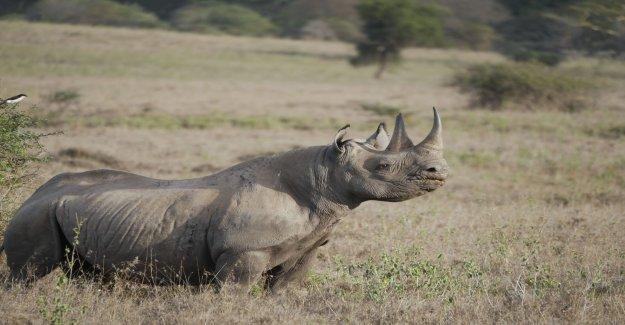 Large finds of rhinoceros horn in Turkey