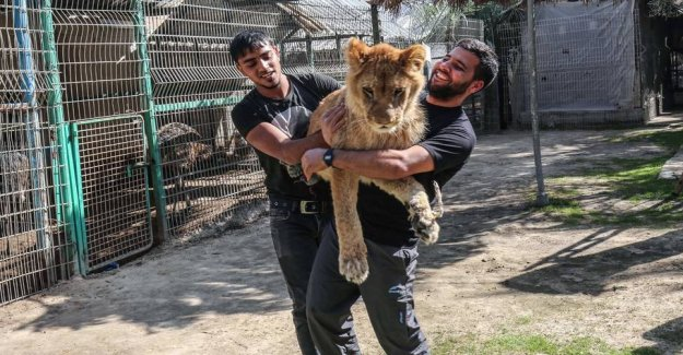 Lion get torn claws out at the zoo: the Children had to play with the
